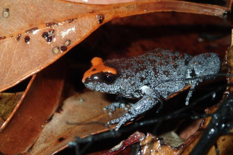 The red-crowned toadlet, found in the Sydney Basin, is already listed as vulnerable by the Commonwealth.