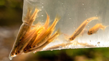 Galaxia fish before release.