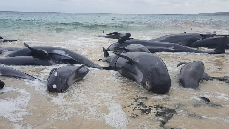 The pilot whales stranded in south west WA.