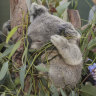 Koalas could be listed as endangered in parts of the country after taking 'extraordinary hit'