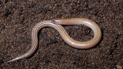 New species discovery highlights gap in knowledge of Queensland fauna