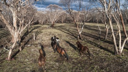 The fight to save the brumbies stirs old animosities