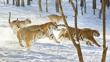 Siberian Tigers at Hengdao Hezi Siberian Tiger Park in China's Heilongjiang province run after their prey. The park is the world's largest Siberian tiger breeding centre and is home to more than 1000 animals.