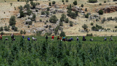 Masked workers remove dirt and dry leaves in a cannabis field in Lebanon's Bekaa Valley.