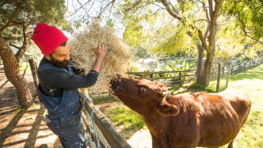 Shawn Augustin feeds Daphne the cow at Collingwood Children's Farm.