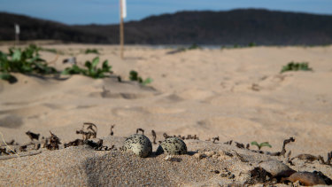 Exposed red-capped plover eggs lie unprotected on South Durras beach.