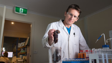 Testing services manager Duane Kelly examines wine grapes at Vintessential Laboratories' facility at Dromana.