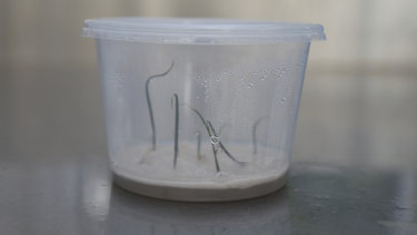 Orchid seedlings in their 'humidicrib', the step between lab (petri dish) and glasshouse (soil).