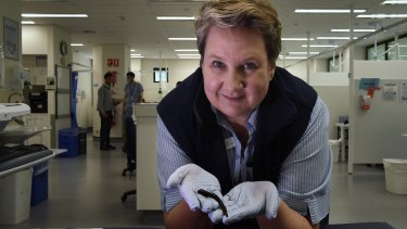 Kay Maddison, hand clinical nurse consultant at the hand clinic in Sydney Hospital holds a Richardsonianus leech.
