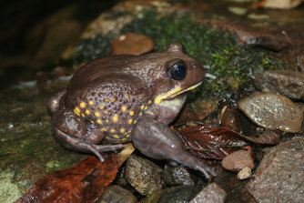 The giant burrowing frog is on the danger list.