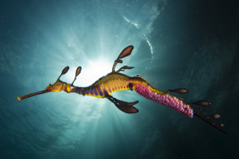 The demolition threatens the habitat of the endangered weedy sea dragon.