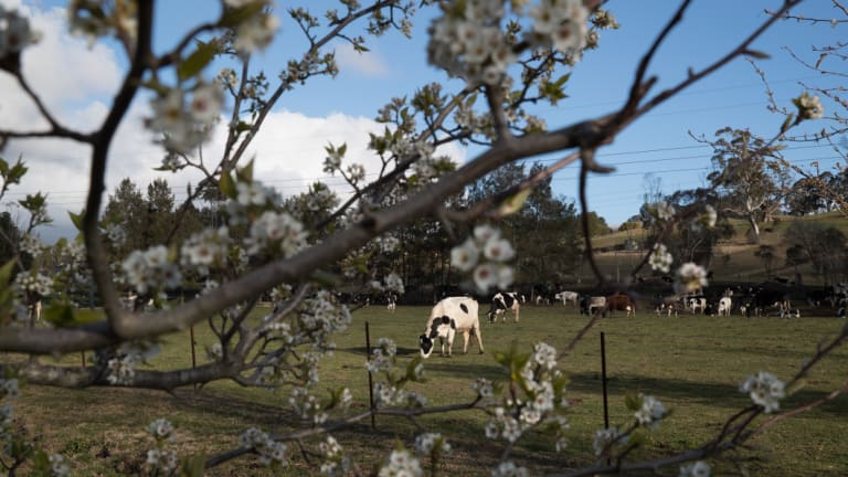 Mayberry Farm: there are now eight dairies left near Moss Vale, compared with nearly 270 a generation ago.