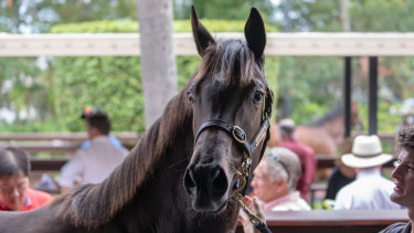 Strength to strength: the Magic Millions sale and race day remains a highlight on the summer calendar.