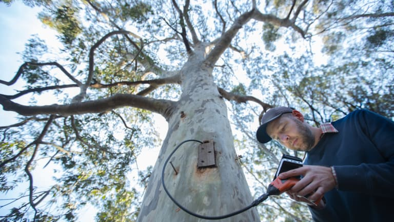 Steve Griffiths from La Trobe University checks a tree hollow carved using a chainsaw in the Bundoora Wildlife Sanctuary.