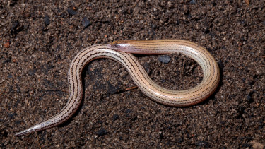 Lerista anyara has been described for the first time by Queensland scientists, but is well known to the local Indigenous people.