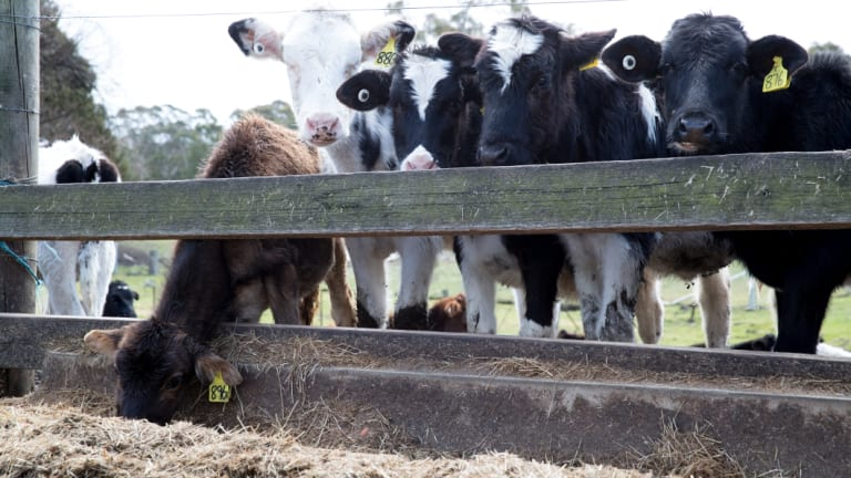 With a lack of grass in the pastures, every six days Mayberry's cows demolish 36 bales of hay.