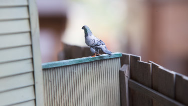 A clay pigeon - detail from David Hourigan's Yarraville pigeon club model.