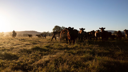 'A very, very optimistic time': Once-in-a-generation chance for Australia's drought-hit beef farmers