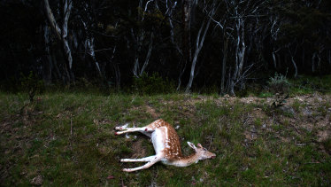 A deer shot near Thredbo.