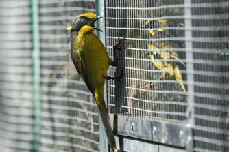 A helmeted honeyeater hangs onto the outside of an aviary at the release site.