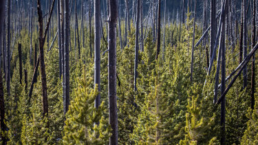 Trees, and new growth, after a forest fire in Yellowstone National Park in October.