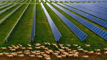 Sheep graze on a solar farm at Dubbo in June this year.
