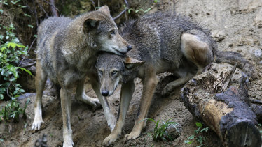 A pair of red wolves in the US.