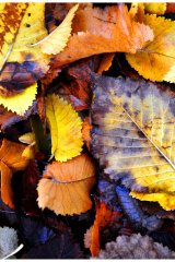 Now is the time to collect fallen leaves a to create leaf mould.