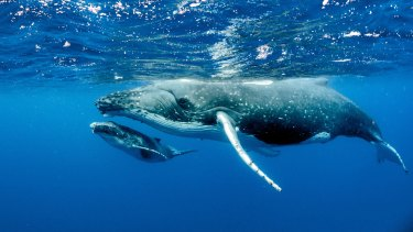 WA has been trialing humpback whale swimming encounters since June 2016.