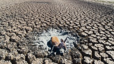 A kangaroo struggles in mud in an all but dried-up drainage canal in the Menindee Lakes system.