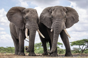 Two bull elephants at Ol Donyo lodge in the foothills of the Chyulu Hills, in the east of the Amboseli ecosystem, Kenya.