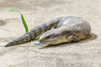 Research has found blue-tongued lizards can shake off a bite from a red-bellied black snake.