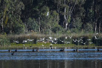 The artificial flow of water through the Murray River has affected the ecology of the Ramsar-listed Barmah Lake.