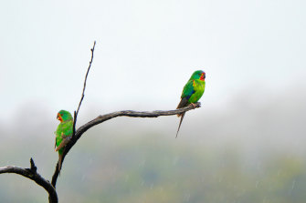 Swift parrots are critically endangered.