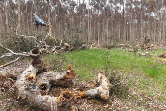 A directions tree in the Djab Wurrung area was cut down in October as part of the widening of the Western highway.