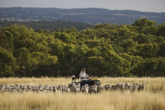 John Ive's strategic grazing practices, which match paddock size and sheep grazing rates with the changing landscape and its livestock carrying capacity, are boosting soil health and carbon content.