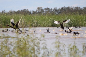 Birdlife is returning to parts of the Macquarie Marshes but much of the area is still to get a lot of water.