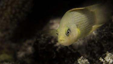 Damselfish were used in the study that found boat noises could be impacting their ability to learn.