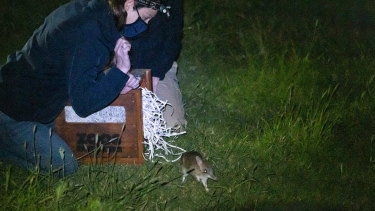 A bandicoot being released last month.