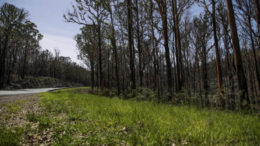 New growth on bushfire-impacted trees along the Princes Highway near Batemans Bay.