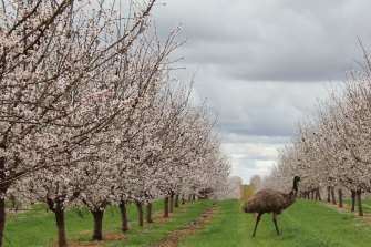 The ASX-listed almond producer Select Harvests has lifted its net profit by 160% to $53 million.