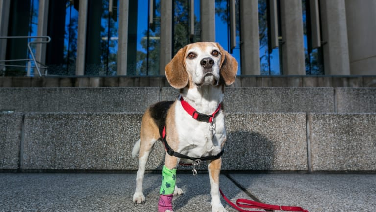Hoover might become the first dog to receive prostate-cancer nanotherapy.