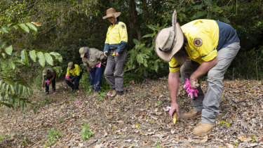 A team works on the eradication of yellow crazy ants, an introduced species.