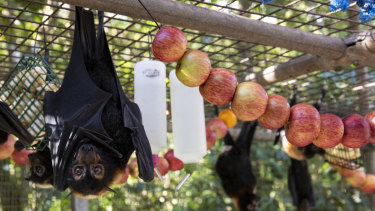 More than 400 orphaned juvenile spectacled flying foxes were brought in for care over the space of just a few days.