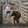 Stock agents drafting cattle during cattle sales at the Lismore saleyards in northern NSW.