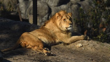 Lions are the star exhibits of Taronga Zoo's new African savannah precinct.