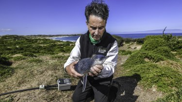 Marine scientist Dr Andre Chiaradia holds a juvenile moulting penguin.