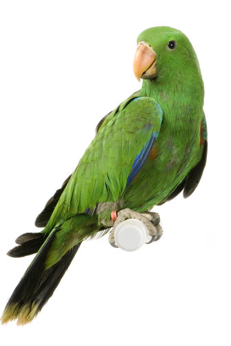 The low-key male eclectus parrot.  Several will feed a (bright-red) female  as she sits in a nest.
