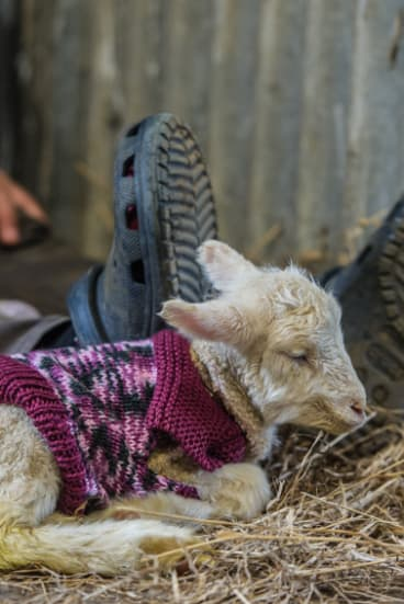 A day-old lamb at Rachel Allen's Yass farm.
