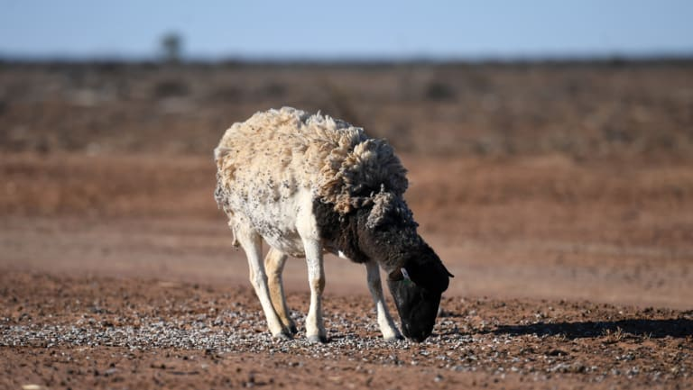 A sheep feeds on the drought-affected Brigalow Downs in Queensland.